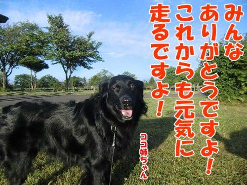 フラットコーテッドレトリーバー・ココ姉ちゃん