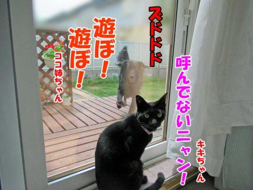 黒猫のキキちゃん・フラットコーテッドレトリーバー・ココ姉ちゃん