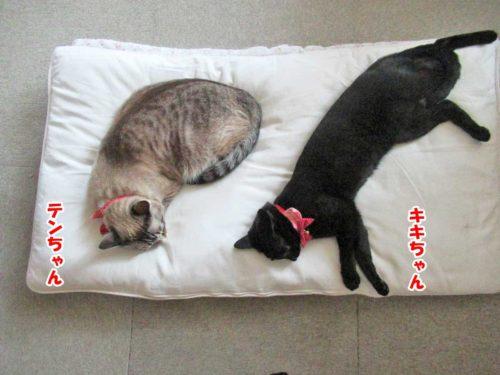 シャムミックスのテンちゃん・黒猫のキキちゃん