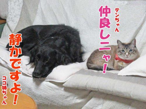 フラットのココ姉ちゃん・シャムミックスのテンちゃん