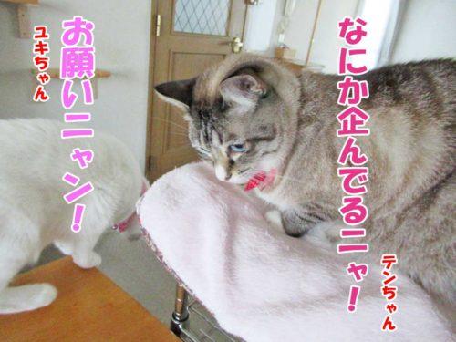 シャムミックスのテンちゃん・白猫ユキちゃん