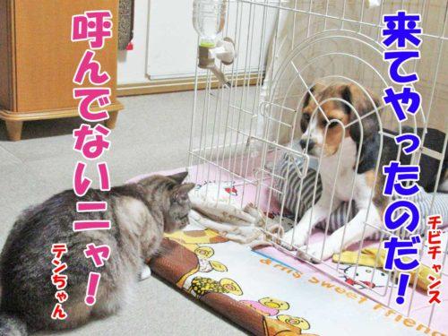 シャムミックスのテンちゃん・ビーグルチビチャンス