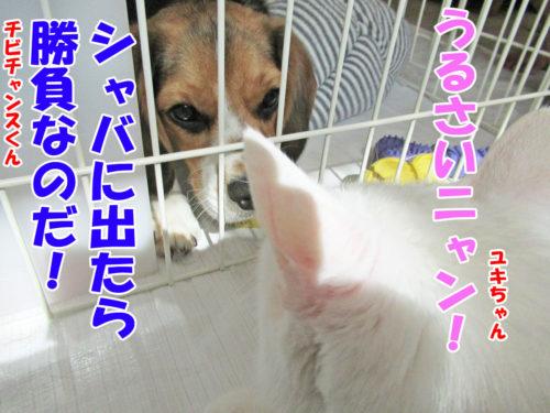 ビーグルチビチャンス・白猫ユキちゃん