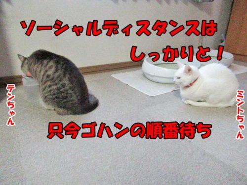 シャムミックスのテンちゃん・白猫ミント