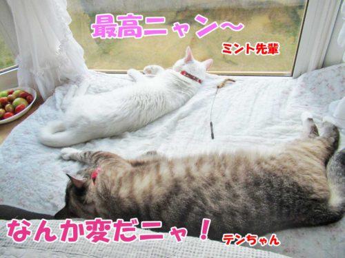 シャムミックスのテンちゃん・白猫ミントちゃん