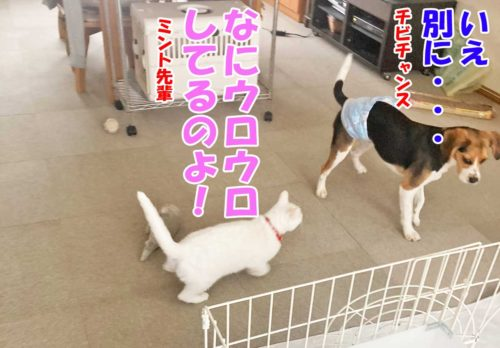 チビチャンス・白猫ミントちゃん