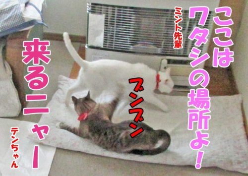 シャムミックスのテンちゃん・白猫ミント先輩