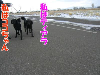 チャンスとティアラ+ココ-20111124-4
