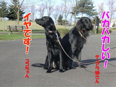 チャンスとティアラ+ココ-20111124-10