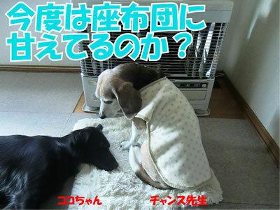 チャンスとティアラ+ココ-20111127-1.jpg
