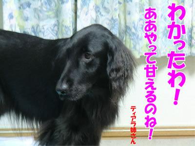 チャンスとティアラ+ココ-20111127-2.jpg