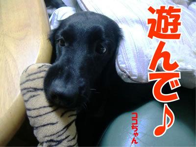 チャンスとティアラ+ココ-20111127-3.jpg