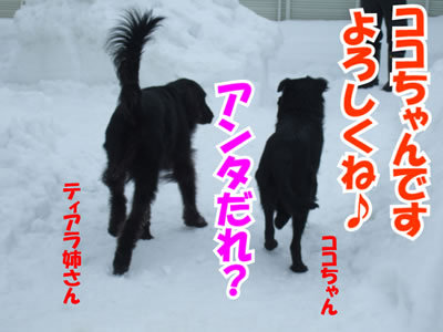 チャンスとティアラ+ココ-20100214-4.jpg