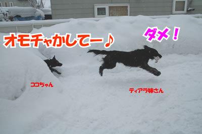 チャンスとティアラ+ココ-20100218-1.jpg