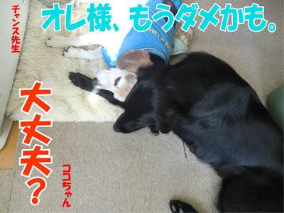 チャンスとティアラ+ココ-20111222-9.jpg