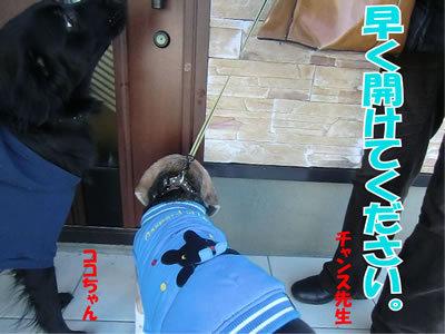 チャンスとティアラ+ココ-20111223-5.jpg