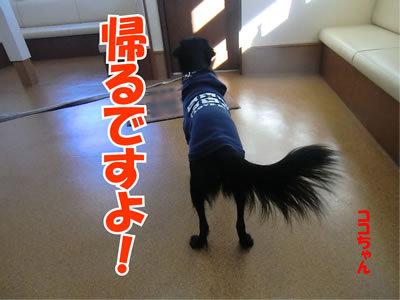 チャンスとティアラ+ココ-20111223-10.jpg