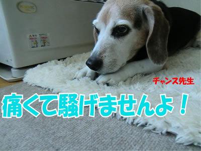 チャンスとティアラ+ココ-20111224-2.jpg