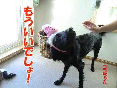 チャンスとティアラ+ココ-20111224-22.jpg