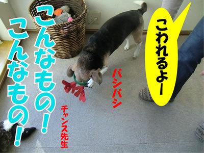 チャンスとティアラ+ココ-20111224-25.jpg