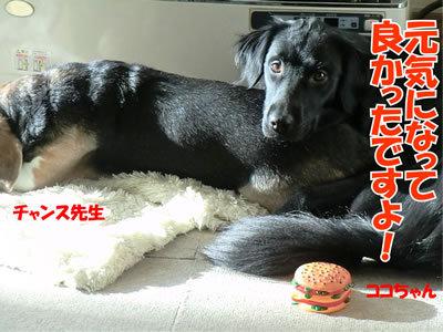 チャンスとティアラ+ココ-20111225-10.jpg