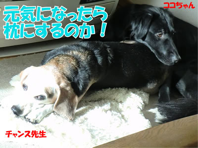 チャンスとティアラ+ココ-20111225-11.jpg