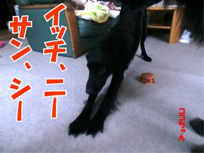 チャンスとティアラ+ココ-20111226-3.jpg