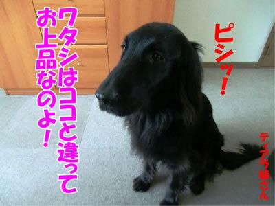 チャンスとティアラ+ココ-20111226-4.jpg