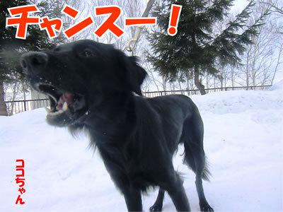 チャンスとティアラ+ココ-20111226-6.jpg