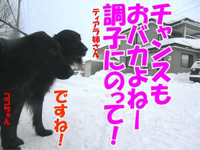 チャンスとティアラ+ココ-20111228-12.jpg