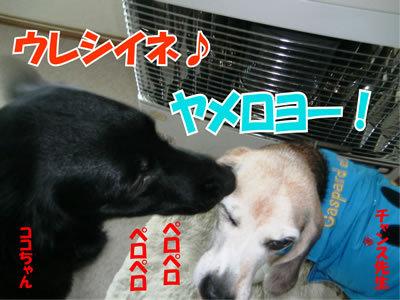 チャンスとティアラ+ココ-20111229-2.jpg