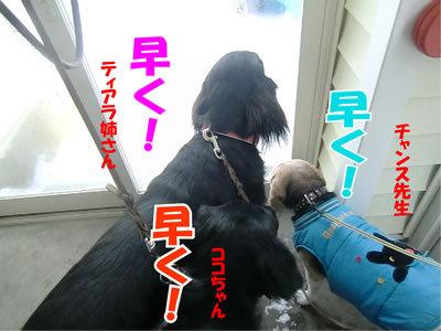 チャンスとティアラ+ココ-20111230-2.jpg