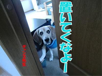 チャンスとティアラ+ココ-20120103-1.jpg
