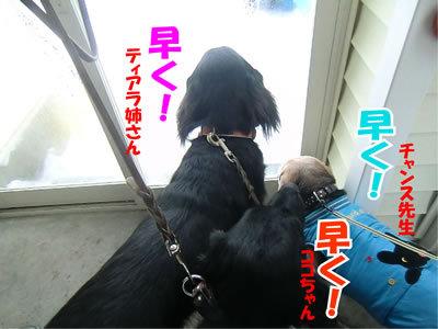 チャンスとティアラ+ココ-20120103-2.jpg