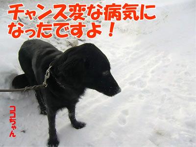 チャンスとティアラ+ココ-20120104-8.jpg