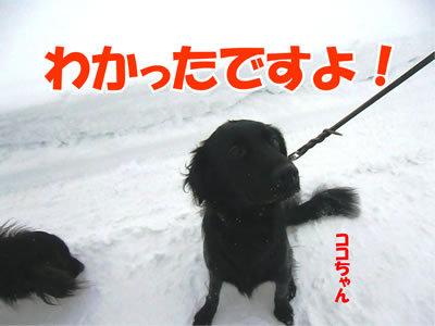 チャンスとティアラ+ココ-20120106-4.jpg