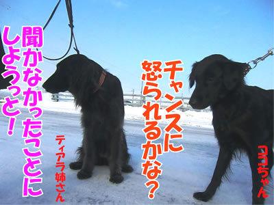 チャンスとティアラ+ココ-20120109-5.jpg