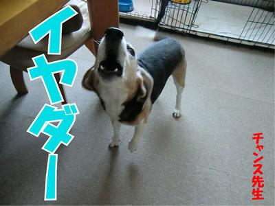 チャンスとティアラ+ココ-20120109-7.jpg