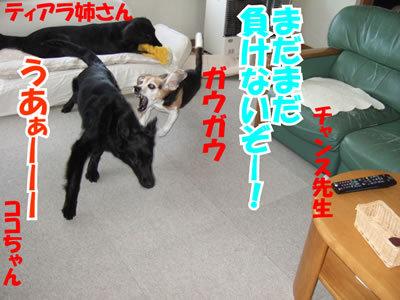 チャンスとティアラ+ココ-20100311-4.jpg