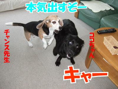 チャンスとティアラ+ココ-20100311-5.jpg