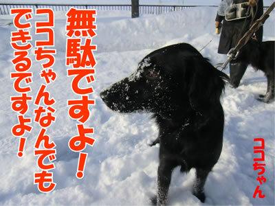 チャンスとティアラ+ココ-20120111-5.jpg