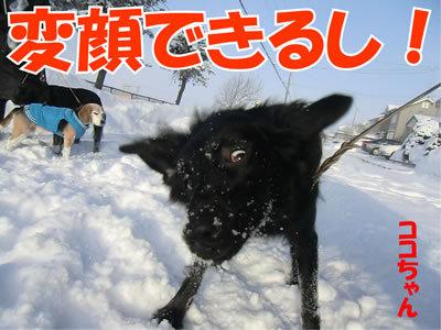 チャンスとティアラ+ココ-20120111-7.jpg