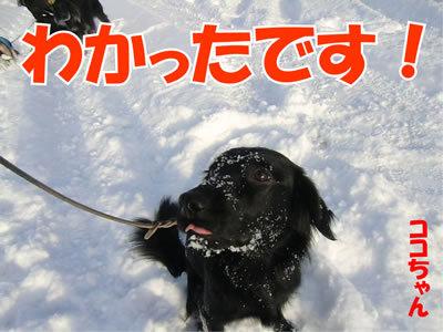 チャンスとティアラ+ココ-20120111-9.jpg