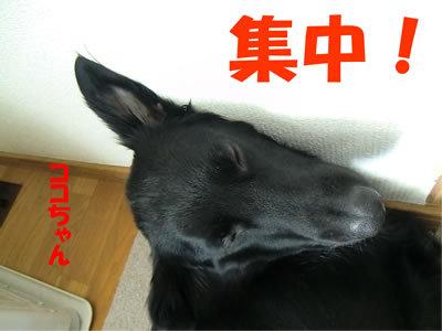 チャンスとティアラ+ココ-20120112-9.jpg