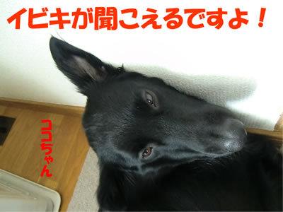 チャンスとティアラ+ココ-20120112-10.jpg