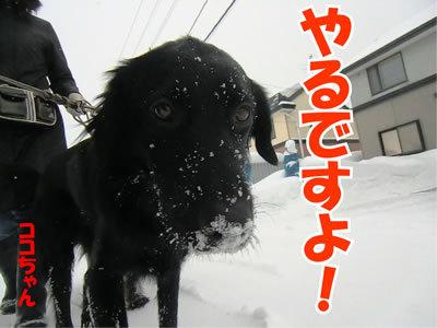 チャンスとティアラ+ココ-20120116-5.jpg