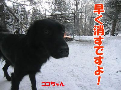チャンスとティアラ+ココ-20120117-8.jpg