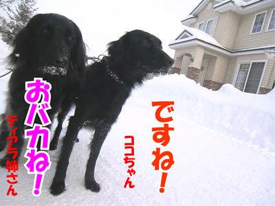 チャンスとティアラ+ココ-20120118-9.jpg