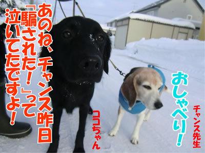 チャンスとティアラ+ココ-20120119-4.jpg