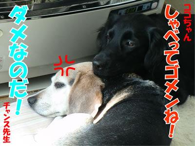 チャンスとティアラ+ココ-20120119-7.jpg